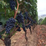 pinot on the vines