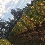 vines color change