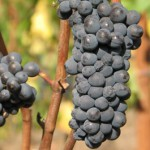 Pelos Sandberg Vineyard Grapes